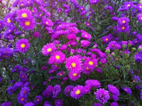 flower asters purple