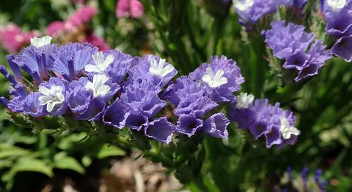 flower  purple  statice