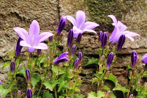 flower  bluebell  blue star