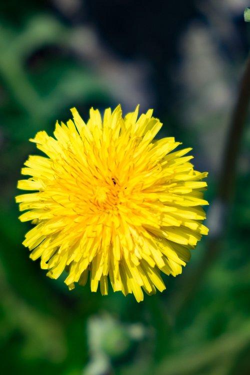 flower  yellow  sonchus oleraceus