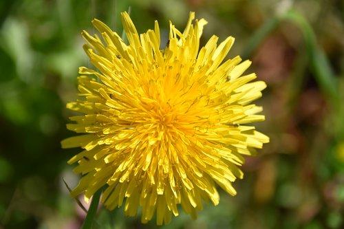flower  dandelion  flower meadows