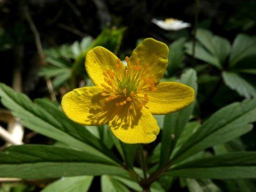 flower  yellow  caltha palustris