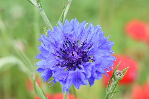 flower  flower cornflower  flower flower