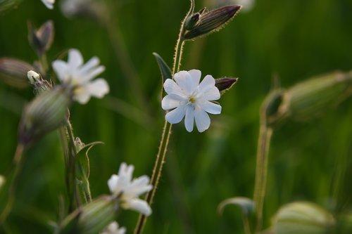 flower  white  champion