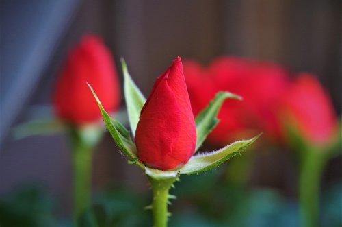 flower  rosa  rosebud