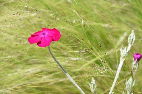 flower  pink flower  nature