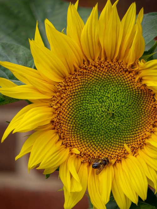 flower  sunflower  summer