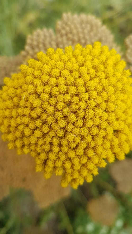 flower  umbel  yellow