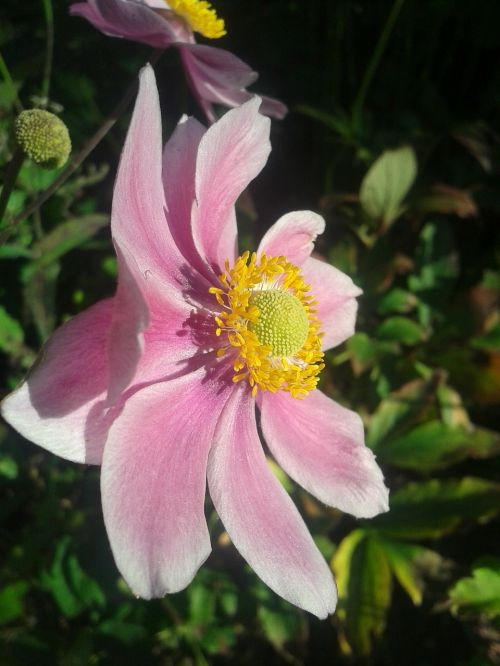 flower pink pale pink