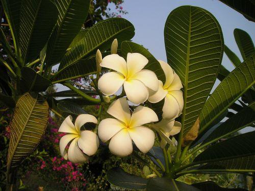 flower exotic thailand