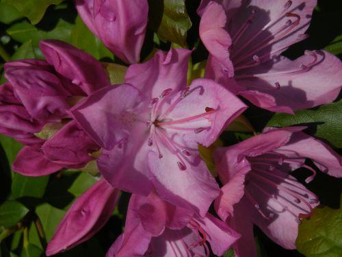 blossom,bloom,purple,pink,flower,spring,flora,plant,summer,macro