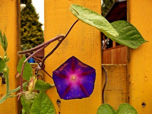 žiedas,žydėti,gėlė,tvora,geltona,sodas,gamta,augalas,žalias,violetinė,violetinė,krūmai