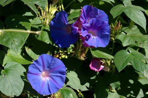 flower bell ipomoea purpurea