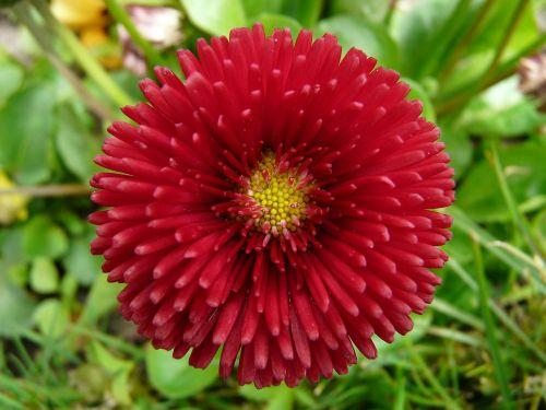flower daisy red