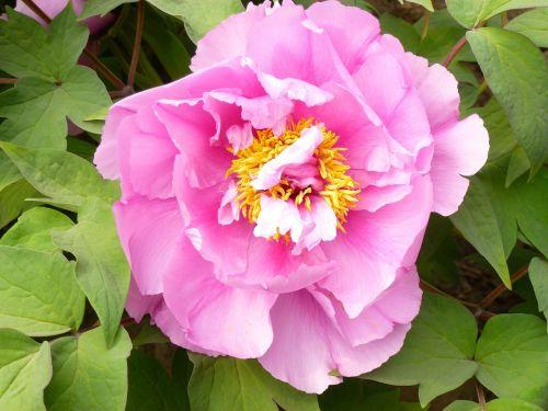 flower garden peony
