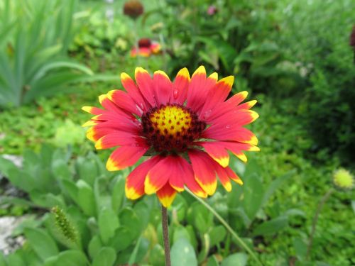 gėlė,sodas,augalas,gamta,sodo augalas,roko augalas,raudona,geltona