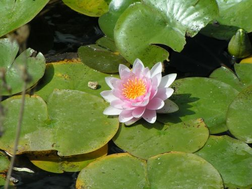 flower lotus aquatic