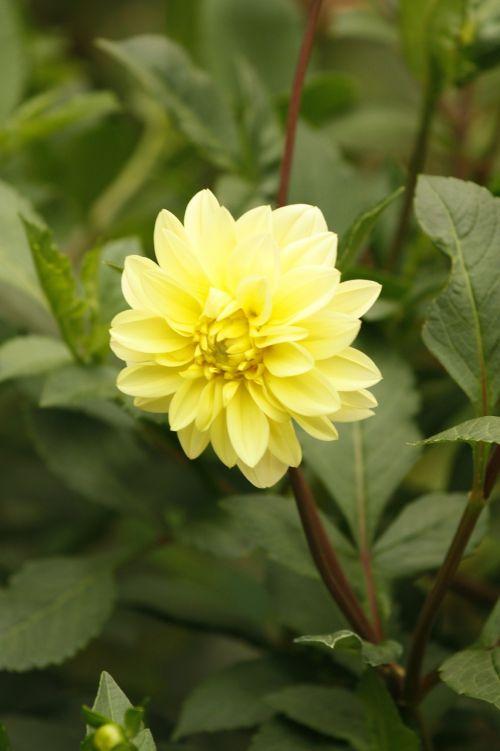 flower a peony arborescens plant