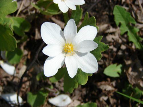 flower wild sanguinaria