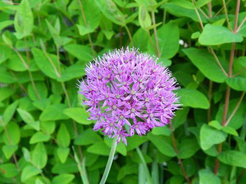 gėlė,violetinė,žiedas,žydėti,raudona violetinė,purpurinė gėlė,violetinė,pavasaris,vasara,kvepalai