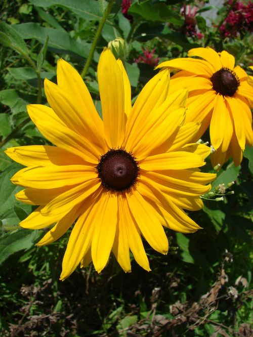 flower black-eyed susan rudbeckia