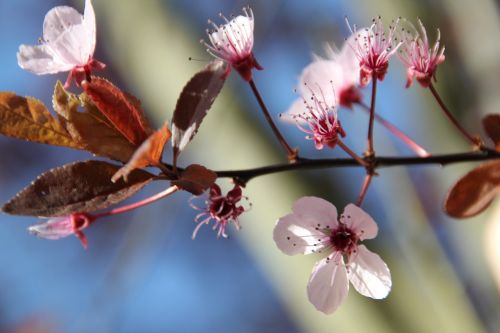žiedas,žydėti,baltas žiedas,vyšnių žiedas,augalas,violetinė,rožinis,vasara