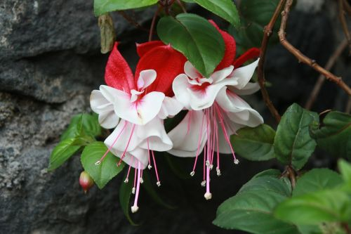 flower fuchsia tendrils of queen