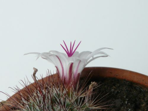 blossom bloom cactus