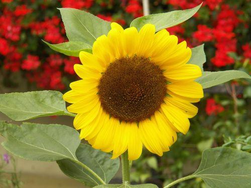 flower sun nature