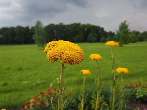 flower yellow yarrow