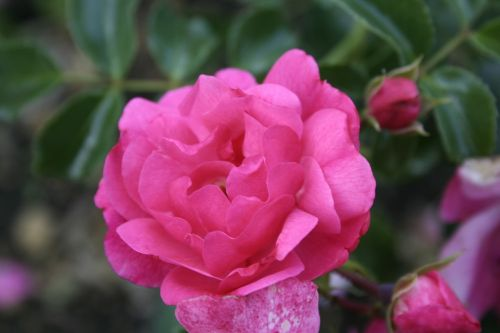 flower pink nature