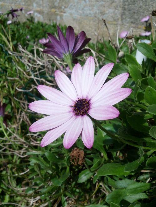 gėlė,violetinė,gamta,marguerite