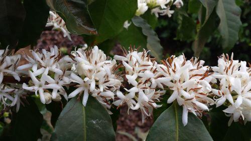 flower coffee flor de café