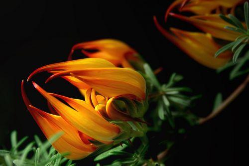 blossom bloom lotus