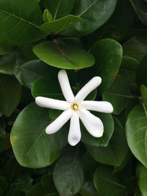 flower maui white