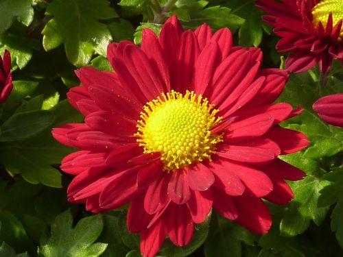 flower chrysanthemum red