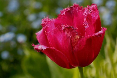 gėlė,tulpė,frans tulip,rožinis,Uždaryti,sodas