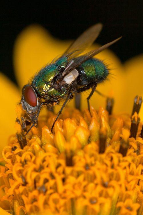 žiedas,žydėti,skristi,makro,vabzdžių makro,gamta,vabzdys
