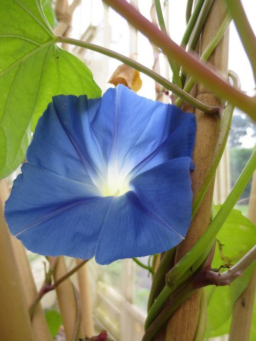 gėlė,mėlynas,botanika