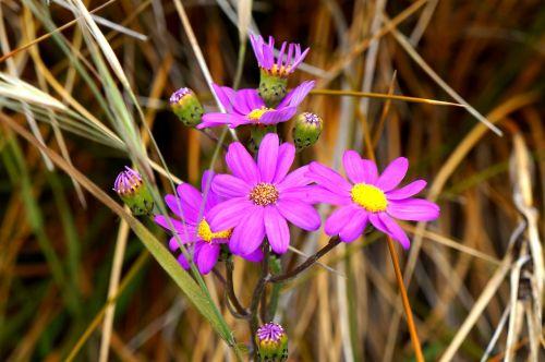 flower daisy purple