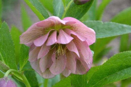 flower pink hellebore