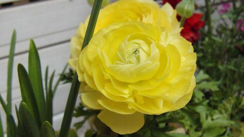 flower,yellow,ranunculus