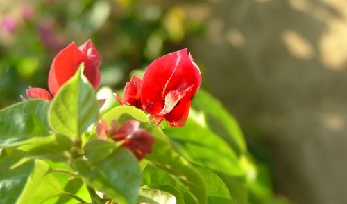 flower red plant