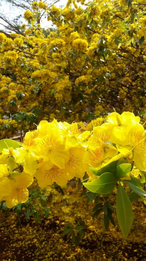 flower gold spring
