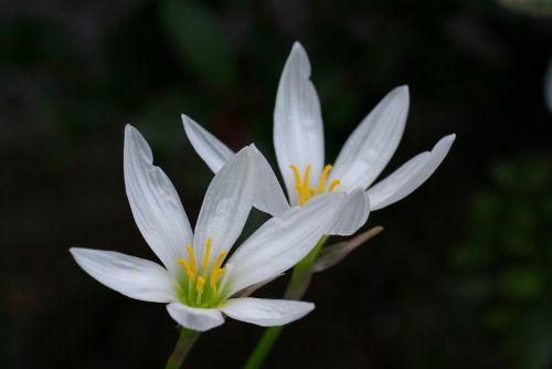 gėlė,žiedai,žiedlapiai,gėlių,balta,šviesus,makro,žydi,zephyranthes candida,žydėti,augalas,auga,sodas