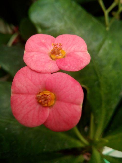 flower euphorbia milii thorns of christ