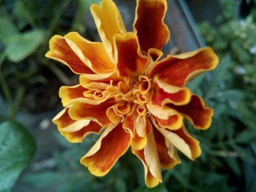 flower carnation moro damasquina flower copete