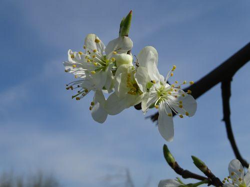 žiedas,žydėti,vyšnios,vyšnių žiedas,filialas,baltas žiedas,vaismedis,pavasaris