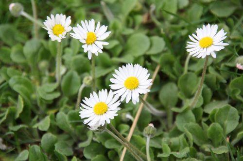 flower plant daisy