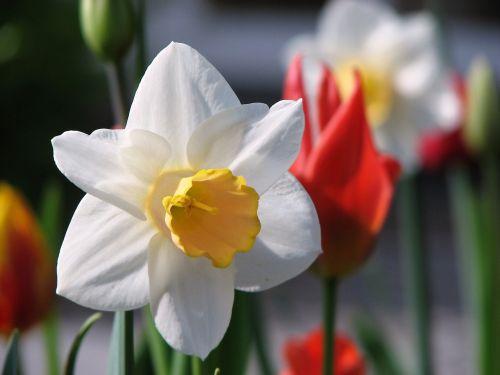 flower narcissus spring